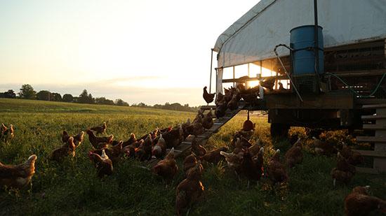 chickens at Profeta Farms