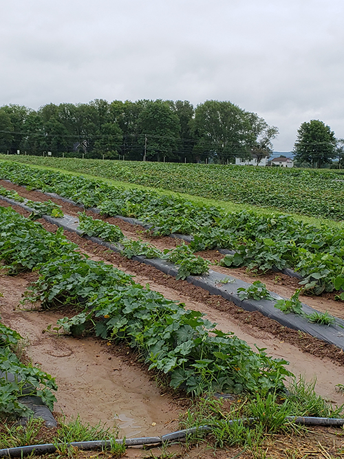 profeta farms squash crops from Simple and Savory