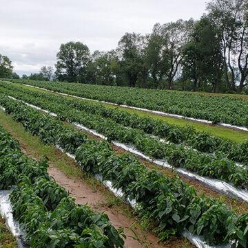 profeta farms peppers
