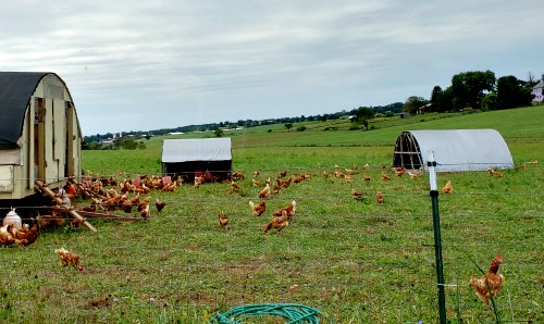 Farm entry chickens