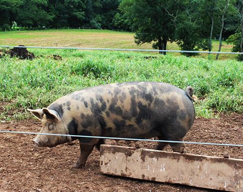Lima Pig2