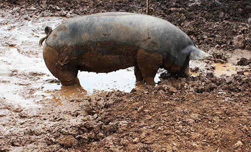 Lima family farms pig in mud